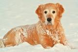"My dog   - "" Golden retriever "" in of winter poster"