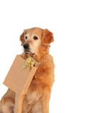 Golden retriever like dog, which bears presents  poster