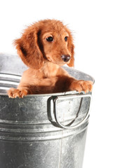 Wet dachshund puppy in a tub.