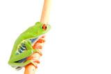 frog macro - a red-eyed tree frog (Agalychnis callidryas) poster
