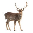 Leinwanddruck Bild - buck deer isolated with clipping path