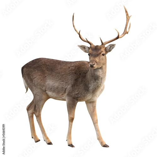 Leinwanddruck Bild buck deer isolated with clipping path