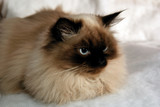 distinguished blue eyed seal point male himalayan cat