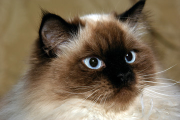 pretty blue eyed male himalayan cat looking off to the side