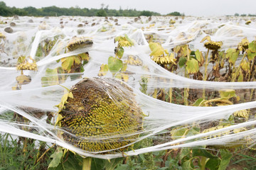 sunflowers covered of nets, a field of sunflowers