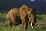 Elephant eating grass in Kenya Africa. poster