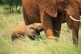 Baby elephant feeding from its mother, Kenya Africa. poster