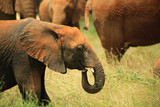 Young elephant with the rest of herd Kenya Africa. poster
