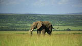 Elephant in the Masai Mara Kenya Africa. poster