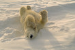 polar bear scratching his back by rolling in the snow.