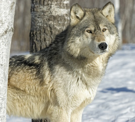 Gray wolf in winter forest. Photographed in Northern Minnesota