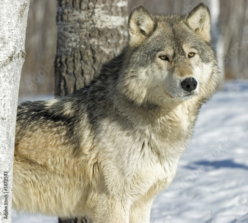 In de dag Wolf Gray wolf in winter forest. Photographed in Northern Minnesota