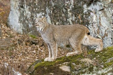 Canadian lynx, photographed in Northern Minnesota