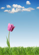 Purple tulip on green grass and blue sky background