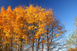 top of vivid fall trees against beautiful cloudless blue sky poster