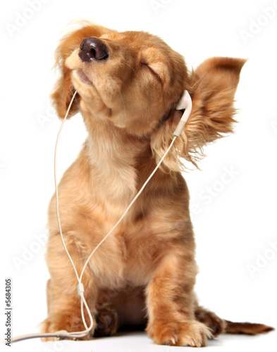 Fototapety, obrazy : Young puppy listening to music on a head set.