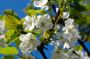 Frühling blühender Kirschzweig