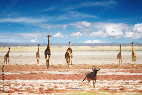 Foto op Aluminium Antilope Blue wildebeest and giraffes in african savanna
