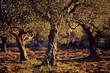 roleta: Olive grove shot in nature