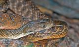 australian common tiger snake Notechis scutatus  poster