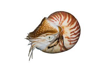 Chambered Nautilus (Nautilus pompilius) isolated on white