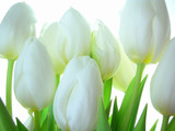 Close-up of bunch of white tulips on white background - 5723375
