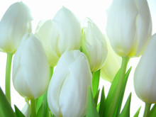Close-up de bouquet de tulipes blanches sur fond blanc