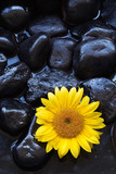 Aromatherapy spa yellow sunflower on black rocks and water poster