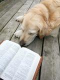 dog  (golden retriever) lying, reading a book . poster