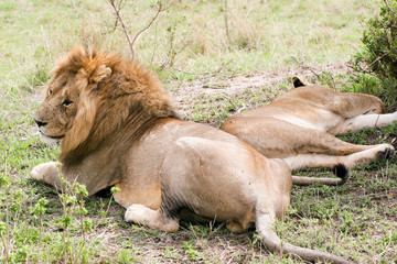 couple of lions in the wild