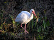 white ibis in florida swamp