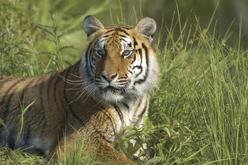 Bengal tiger in high grass. Photographed with a telephoto lens