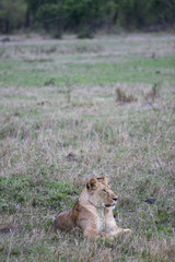 lion waiting for a pray