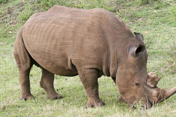 rhino grazing in the bush