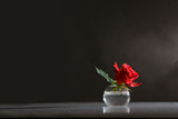 rose in the sunlight - moody background
