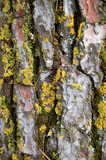 Pine tree trunk with yellow moss fungus. Wood background. poster