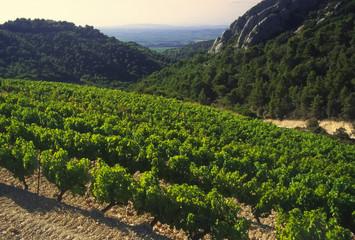 Grapes growing in cote du rhone vineyards in vaucluse