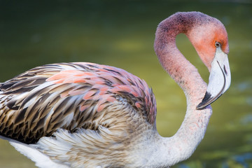 Close-up of a beautiful pink Flamingo