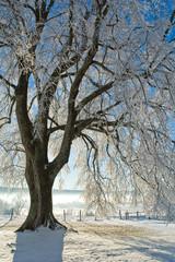 Le grand arbre sous la neige