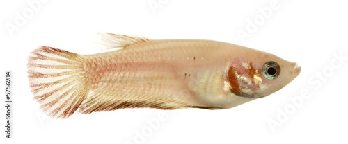 Female Siamese fighting fish in front of a white background