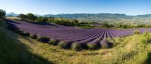 panoramique - champ de lavande Provencal