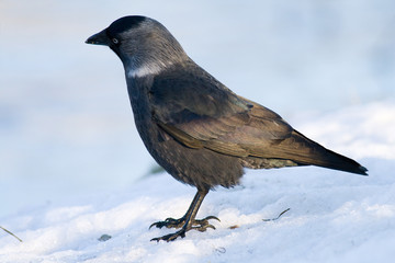 jackdaw in winter day