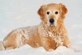 Golden retriever  in of winter on snow poster