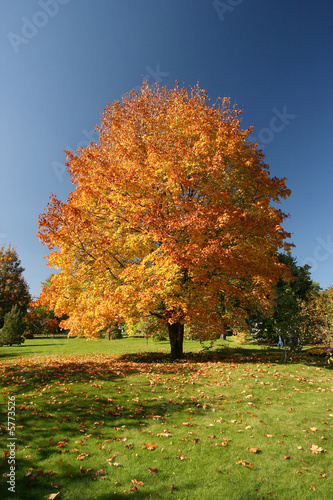 Maple tree in beautiful autumn colours
