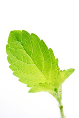 Basil leaf isolated on white