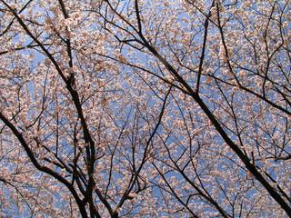 Sakura trees in blossom at spring time
