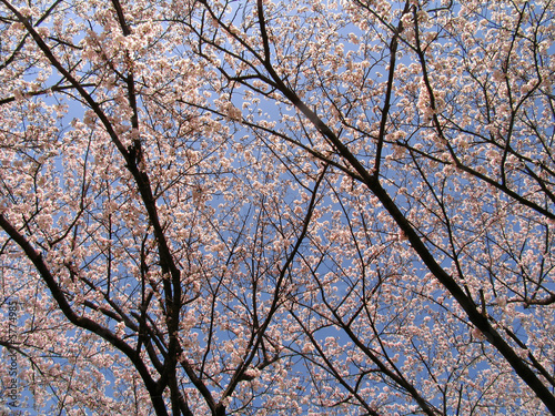 Sakura trees in blossom at spring time