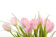 Bouquet of pink tulips over white background