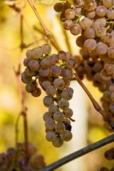 Manseng grapes in Southwest France.