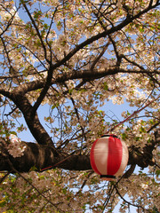 Sakura trees in blossom at spring time with Japanese lanterns